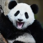 Interesting Facts about Pandas – More than just cuddly-looking creatures
